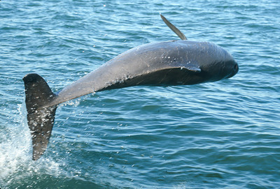 Bottlenose dolphin spins to look at the boat people