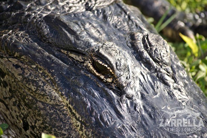 """Alligator Stare"" (Everglades National Park, Florida)"