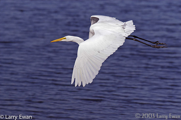 Great Heron on final for landing.  Black Point NWR.