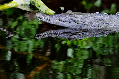 american_crocodile01