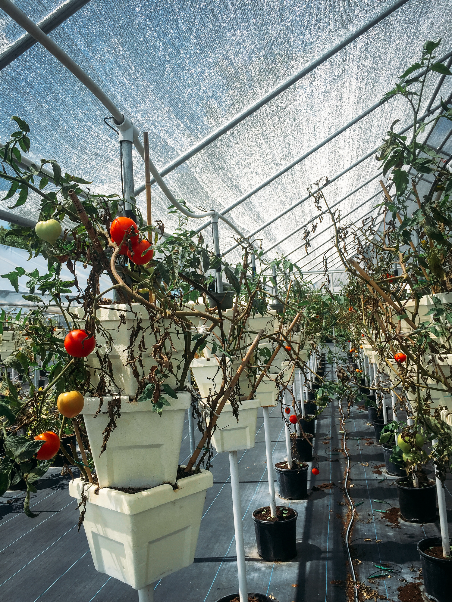 Sweetgrass Farms is an aquaponic farm in Sarasota, Florida and available to visit for the farmer's market.