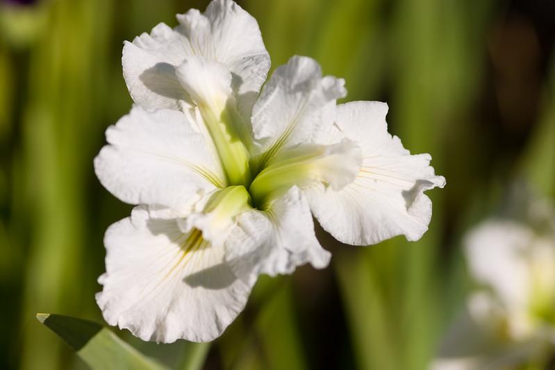Three Petaled Water Flower