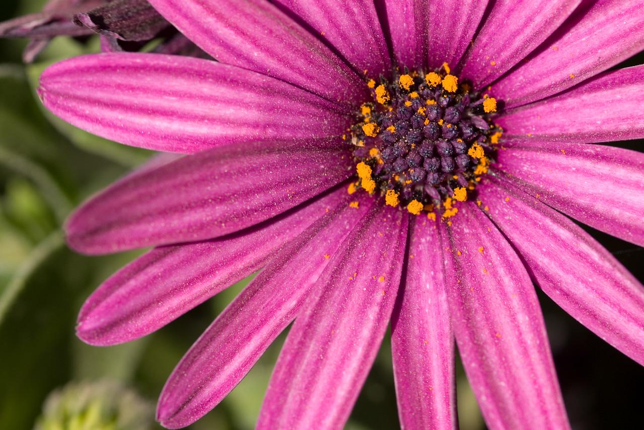 Purple African Daisy