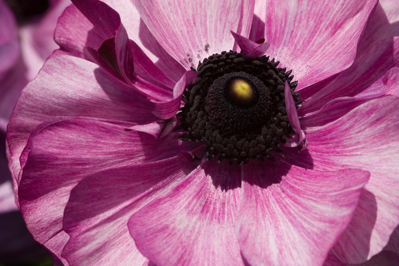 Violet Ranunculus