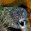 Moray Eel - Dive 7 of 7 - Stetson Bank Buoy #3