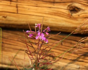Flowers of Wyoming