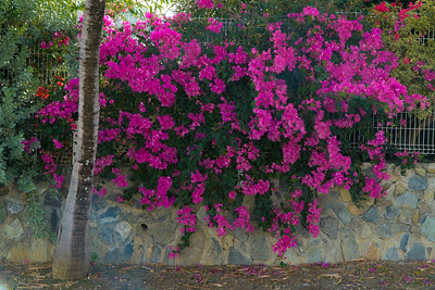 Our favorite bougenvillea. It hugs a wall on the road that leads to town.