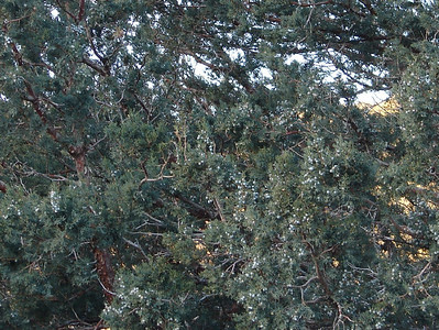 1/14/07 - Two of the things that fascinate me about desert country - vegetation and the geology/topography.  Saw many of these Junipers in my travels.