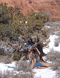 1/16/07 - Another of the gnarled, twisted - obviously tough - old trees in the park.  There are also a quantity of Utah Junipers in areas more protected from extreme weather.