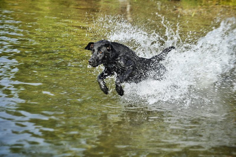 Dinky the black lab fetching a stick in the Naknek River.