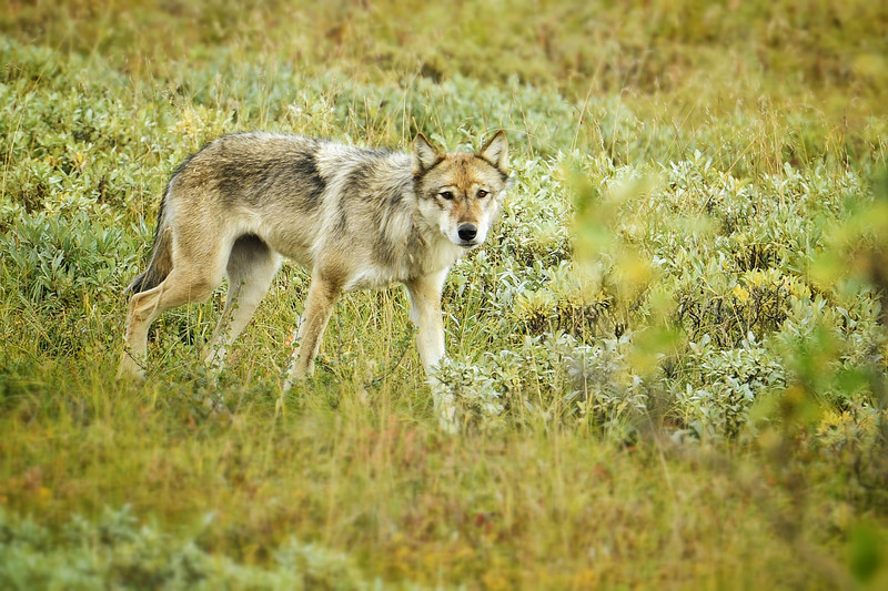 One of the imperiled wolves in Denali National Park.