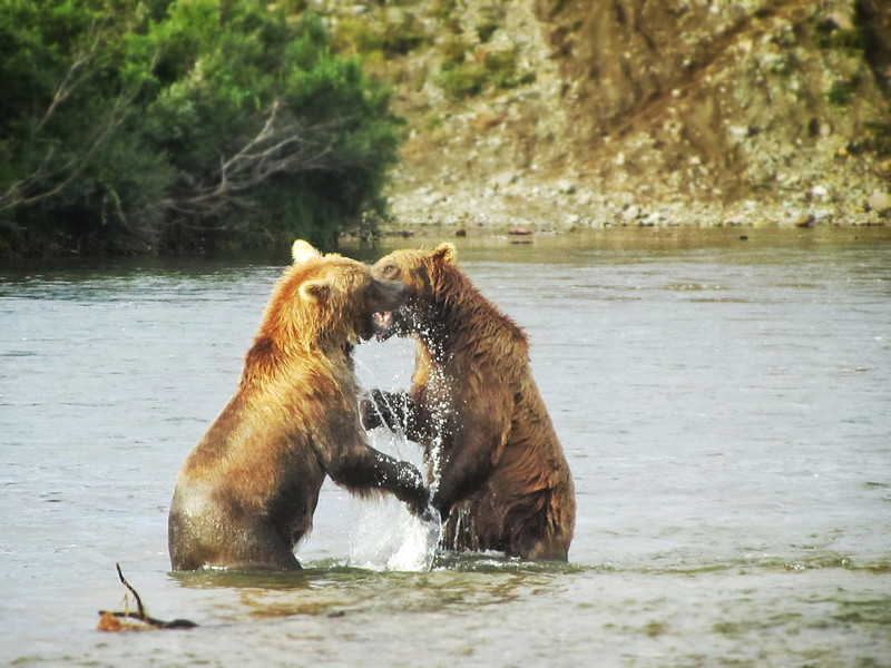 Bears on the Moraine River (photo by Nora).