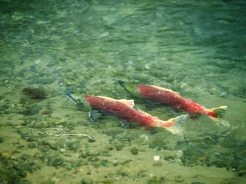 Spawning sockeye salmon on Cabin Creek.