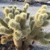 We took the Nature Trail back to the road. Cholla cactus.