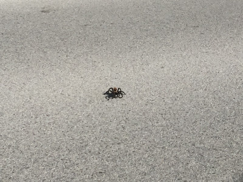 Tarantula on the road. We saw a few of these during our drive.