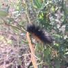Woolly caterpillar.