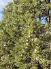 Big berries on this Juniper tree.