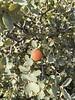 Sonoran Scrub Oak.