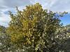 Mistletoe taking over a scrub oak tree.