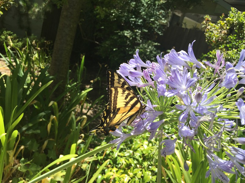 Tiger swallowtail butterfly on some blooming agapanthus.