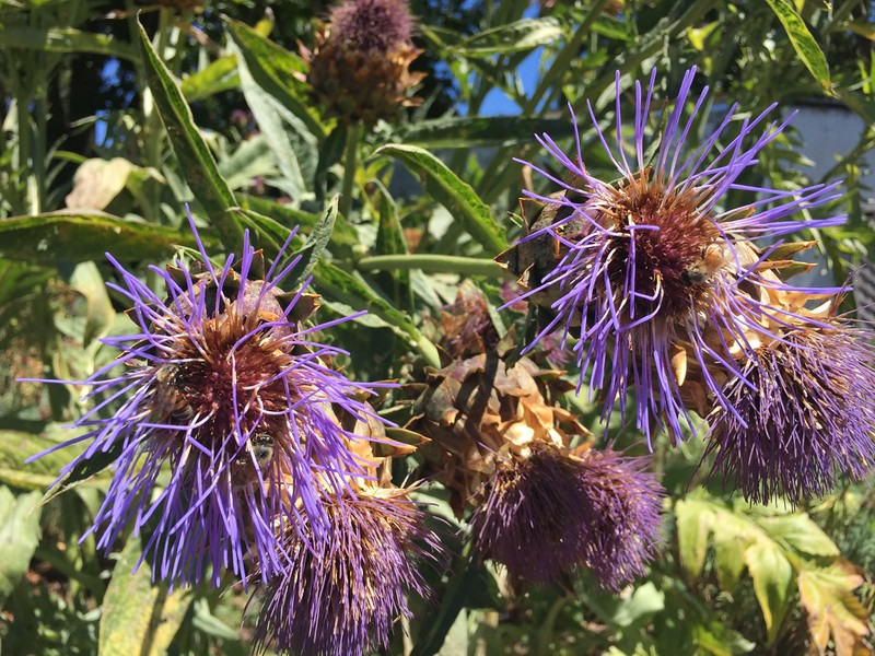 The bees were all over these artichoke like plants.