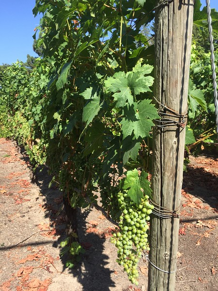Grapes are getting ready for harvesting.