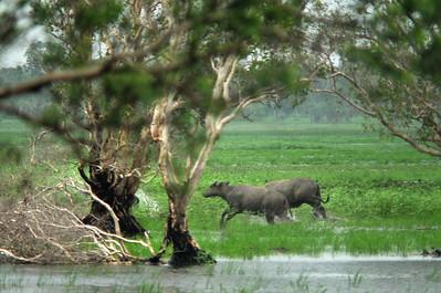 Bubalus bubalis (Bovidae), Water Buffalo. December 2015