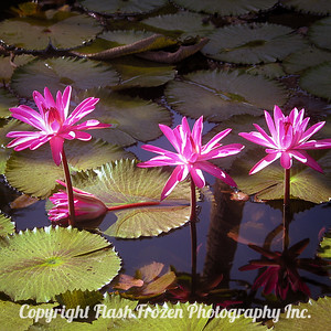Tahitian Flowers