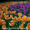 Purple Orange Tulips-1