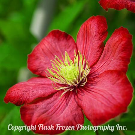 Rhine Cruise Flowers-red 3002