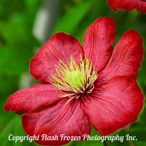 Rhine Cruise Flowers-red 3002