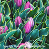 pink leafy Tulips 1x1 2-1-2