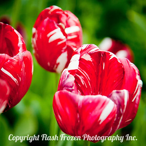red and white Tulips 1x1-1