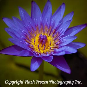 Hawaiian Flower - Image taken during Tsunami from Earthquake in Japan