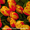 orange yellow Tulips 1x1 2-1