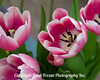 pink and white Tulips-1