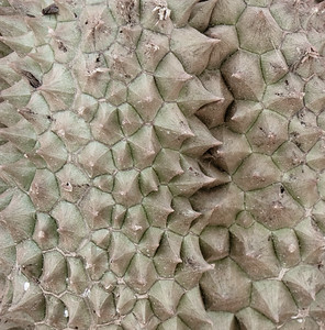 durian spines