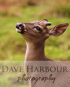 Animal, Yurakallpa, white tailed deer, by Dave Harbour