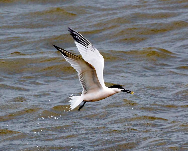 Sandwich Tern searching for food
