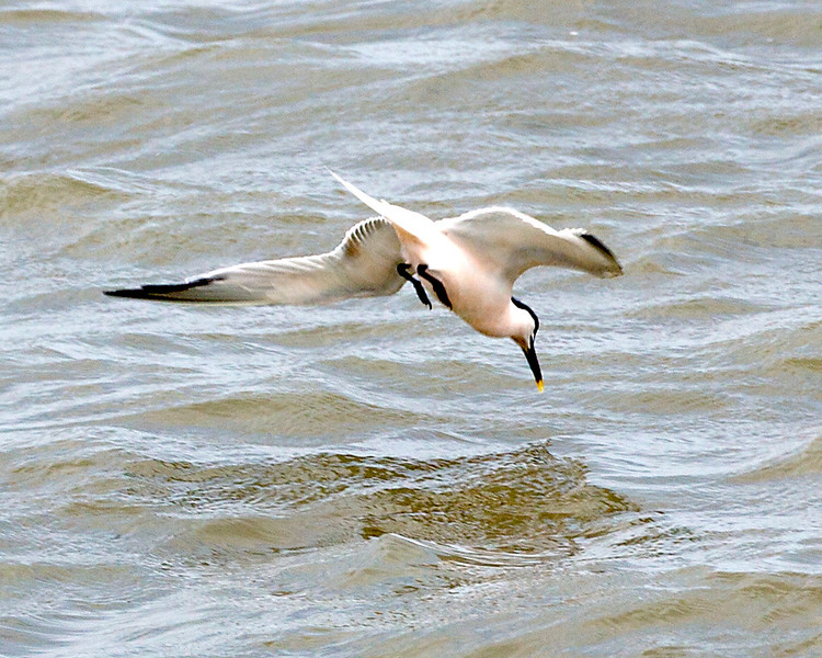 Sandwich Tern diving for food