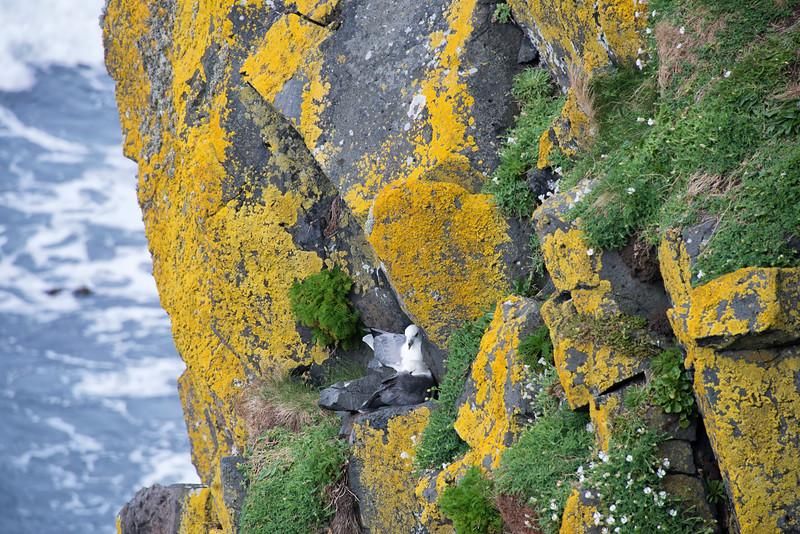 Nesting gulls Carrick-a Rede