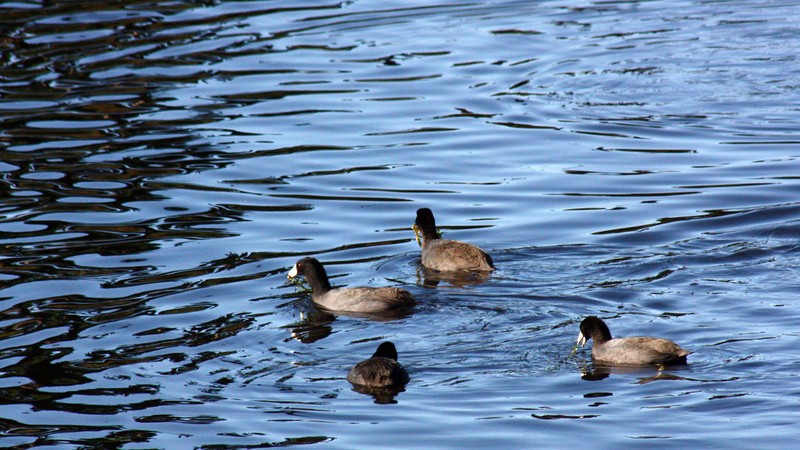Coots, Lake Cleone