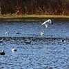 Gulls, Lake Cleone