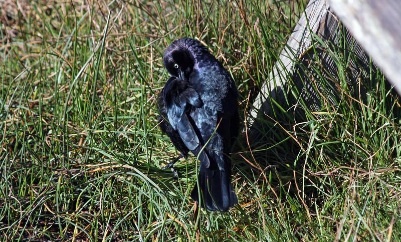 Preening blackbird, Lake Cleone