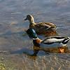Ducks swimming, Lake Cleone