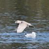 Gull, Lake Cleone