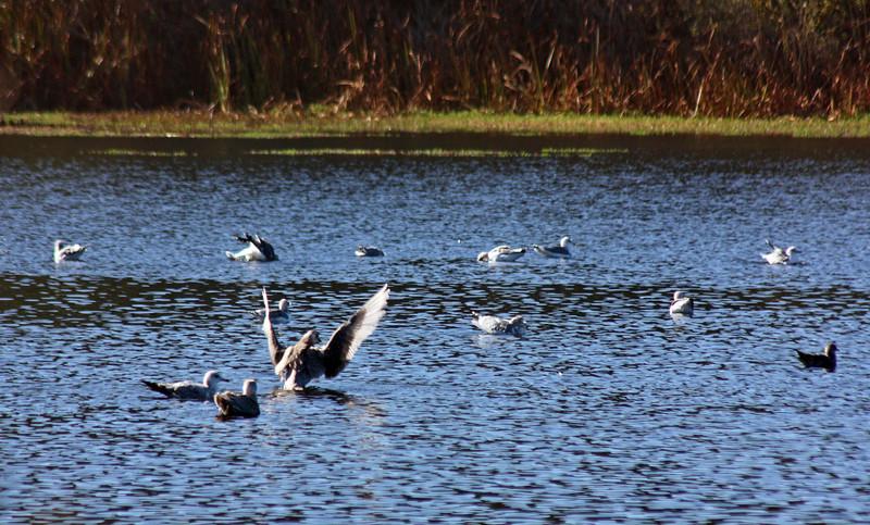 Bathing gulls, Lake Cleone