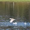 Gull, Lake Cleone