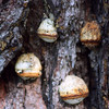 Tree fungus, Lake Cleone