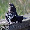 Preening blackbirds, Lake Cleone